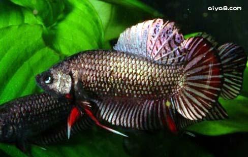 斗鱼 斗鱼品种