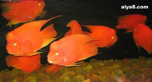 金刚 鹦鹉鱼图片图片